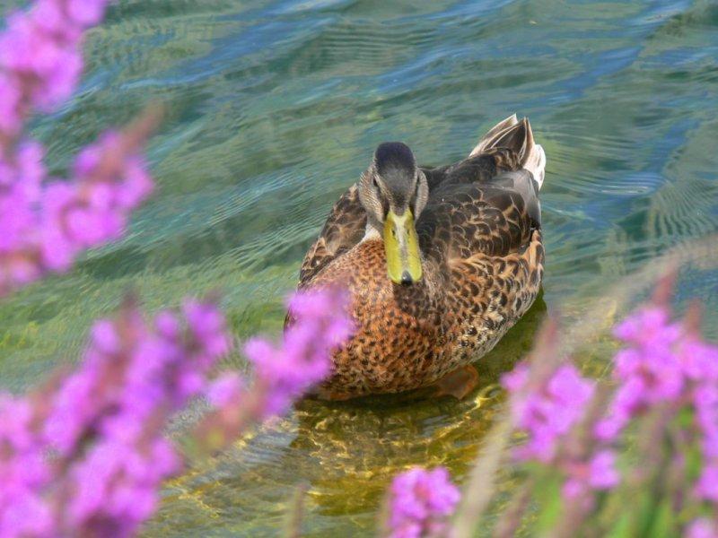 (De)coy duck?
