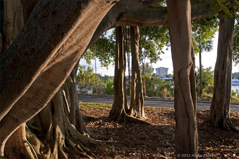 Ficus tree (Banyan tree)