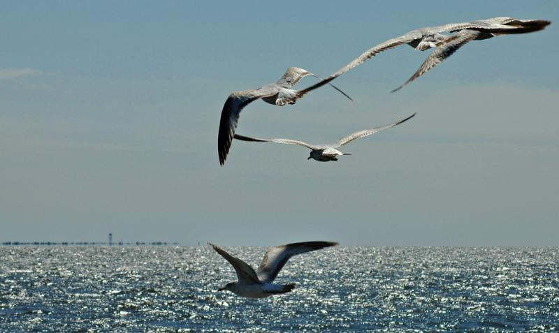 seagulls over the Great South Bay