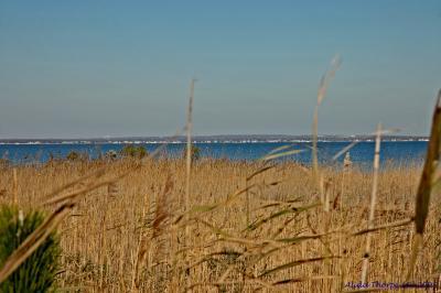 reeds, beach grass