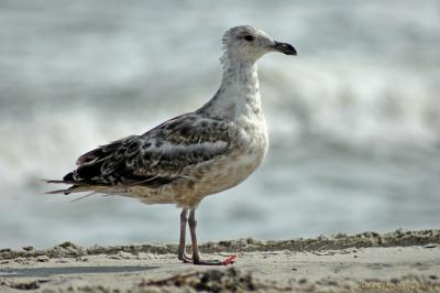immature gull on Fire Island