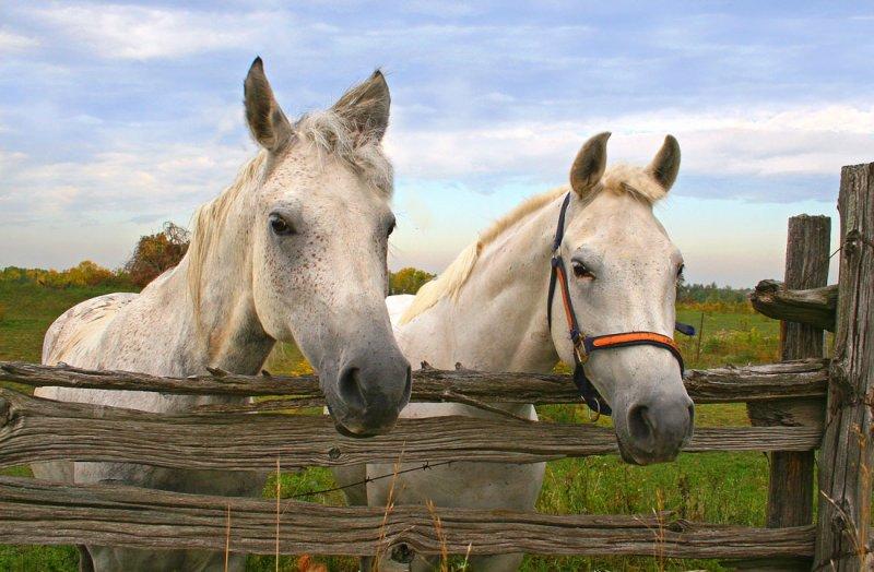 White Horses2.jpg