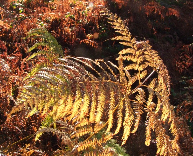 A  fern  by  any  other  name.