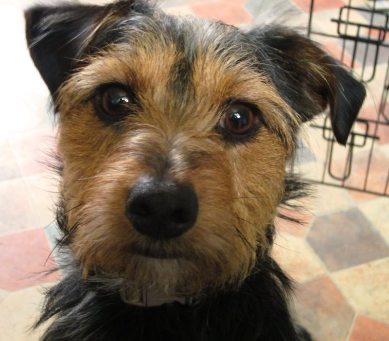 Edward , our Jack  Russel  X  Yorkshire Terrier