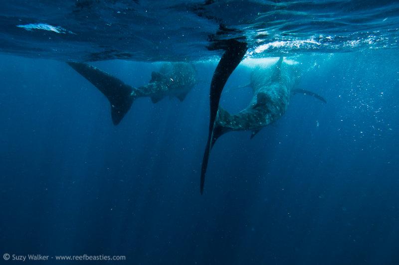 two sharks leaving
