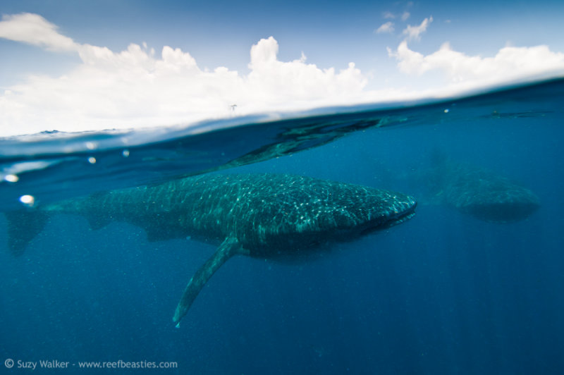 two Whalesharks and clouds