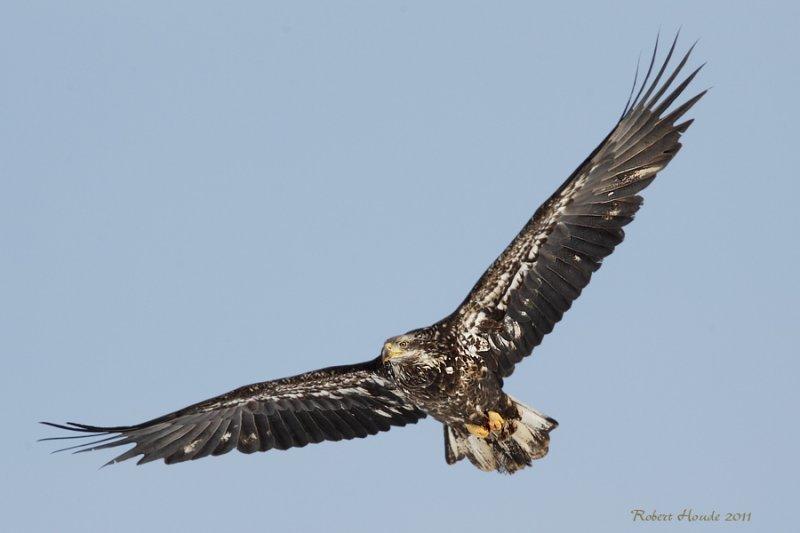 Pygargue à tête blanche -- _E5H4315 -- Bald Eagle