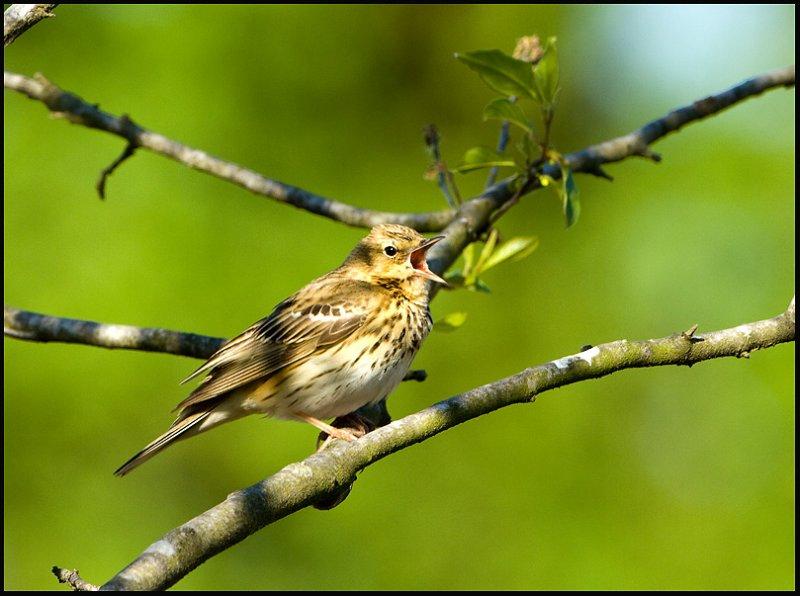 Tree Pipit- Boompieper-Netherlands