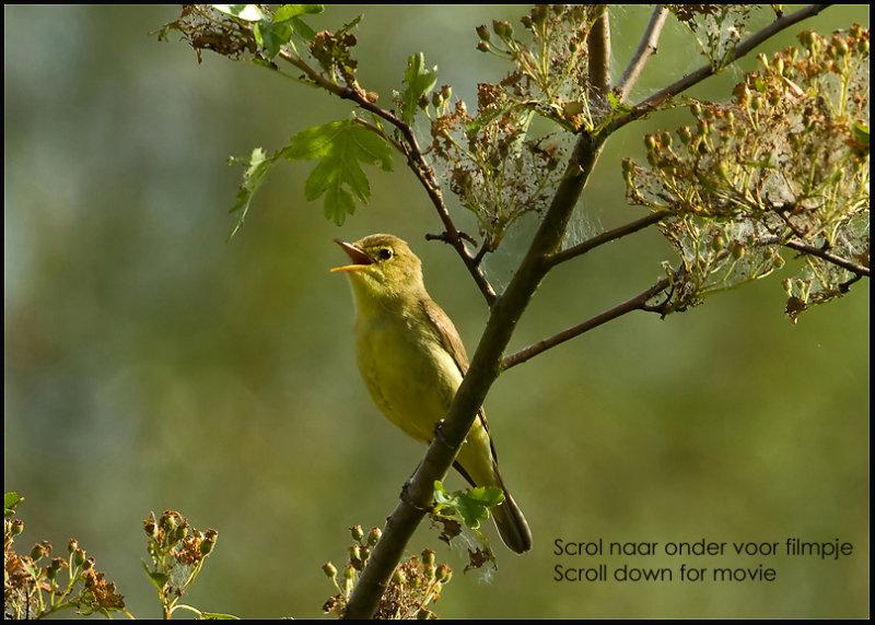 Icterine Warbler - Spotvogel