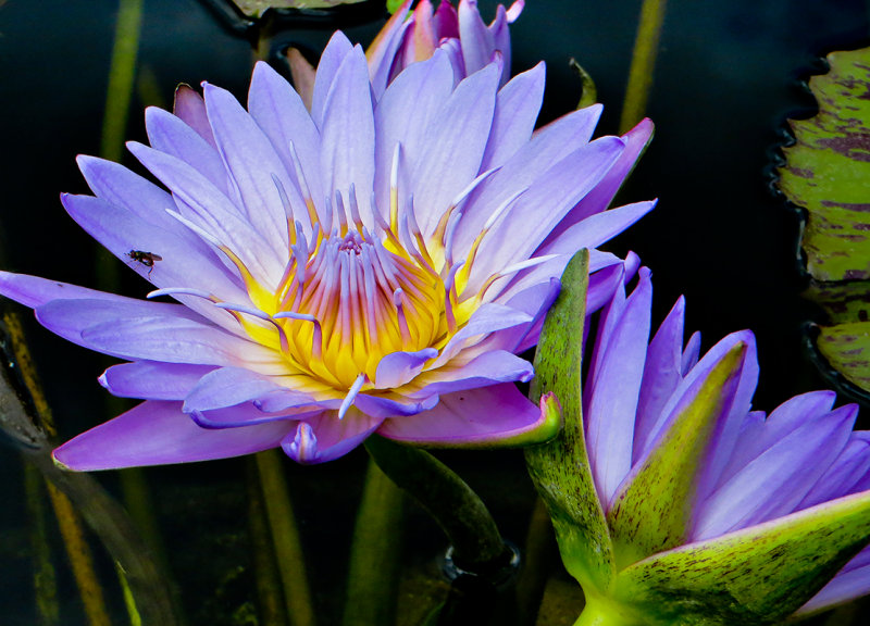 11-07 Water lily 2.jpg