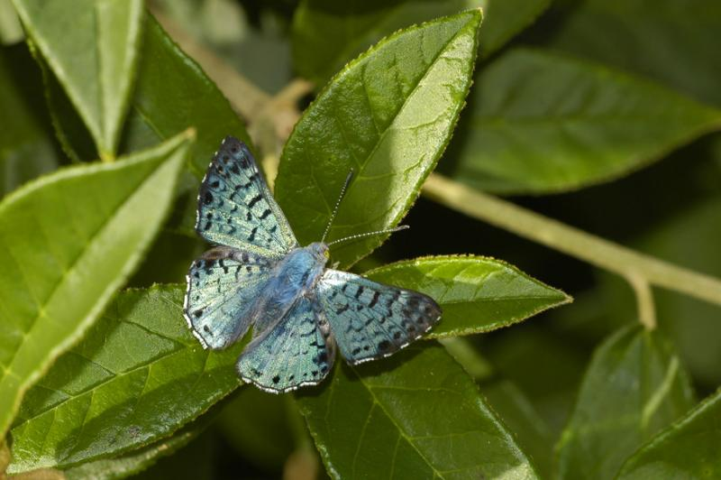 Blue Metalmark - Male Dorsal View