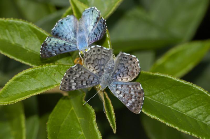 Blue Metalmark - Pair