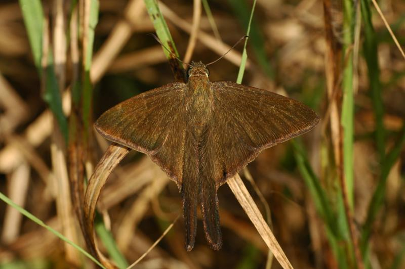 Brown Longtail - Dorsal