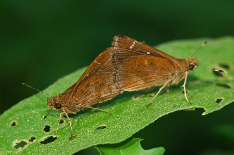 Clouded Skippers - Mating