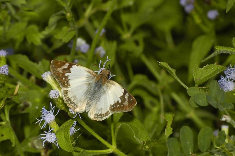 Laviana White Skipper - Female 2
