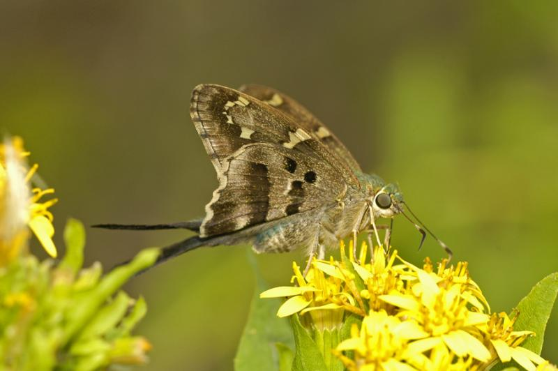 Long-tailed Skipper - Ventral