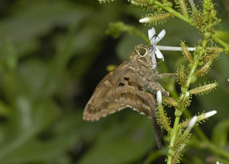 Long-tailed Skipper - Ventral 2