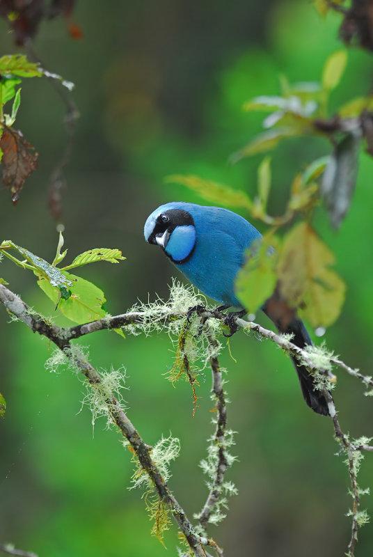 Turquoise Jay 2