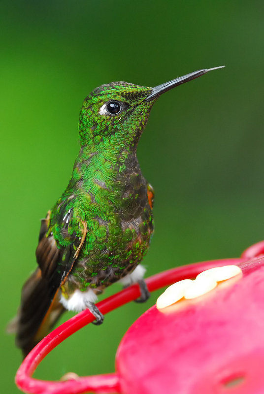 Buff-tailed Coronet Sticking Tongue Out