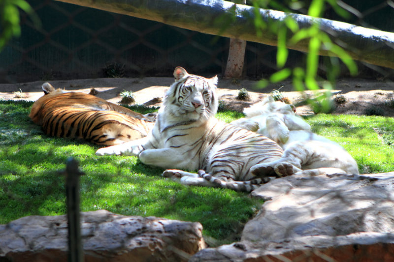 Tigers at Mirage Secret Garden