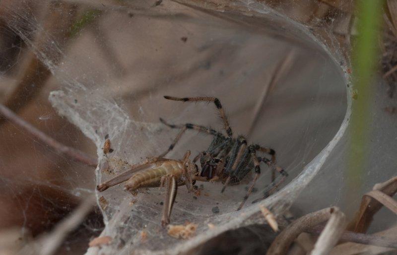 Funnelweb Spider.jpg
