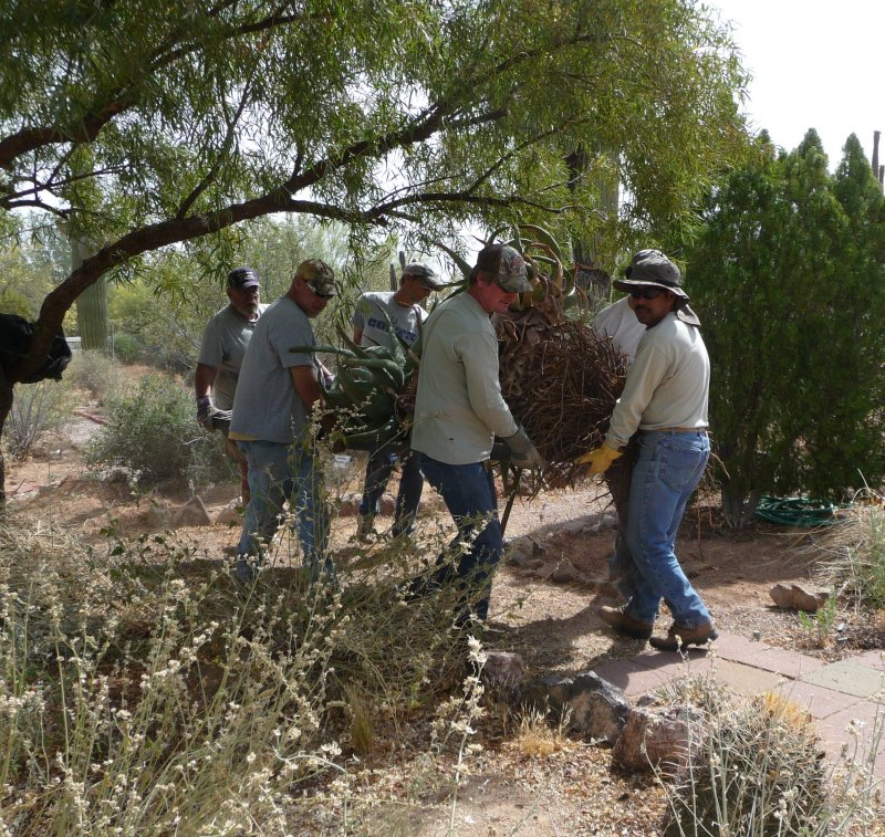 Staff and volunteers have just dug up a large tree aloe that was donated to Boyce Thompson Arboretum