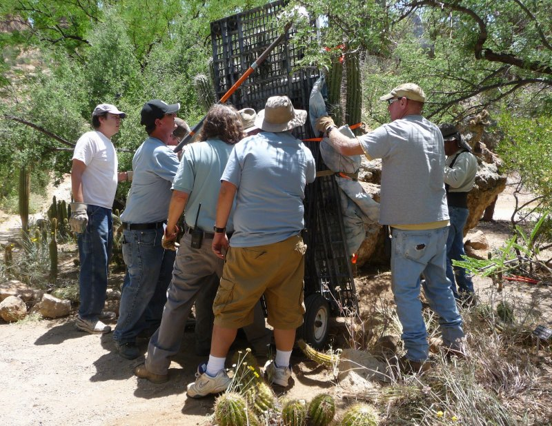 It took a lot of Arboretum Staff and Volunteers to place this Large Stetsonia coryne in its new home at BTA
