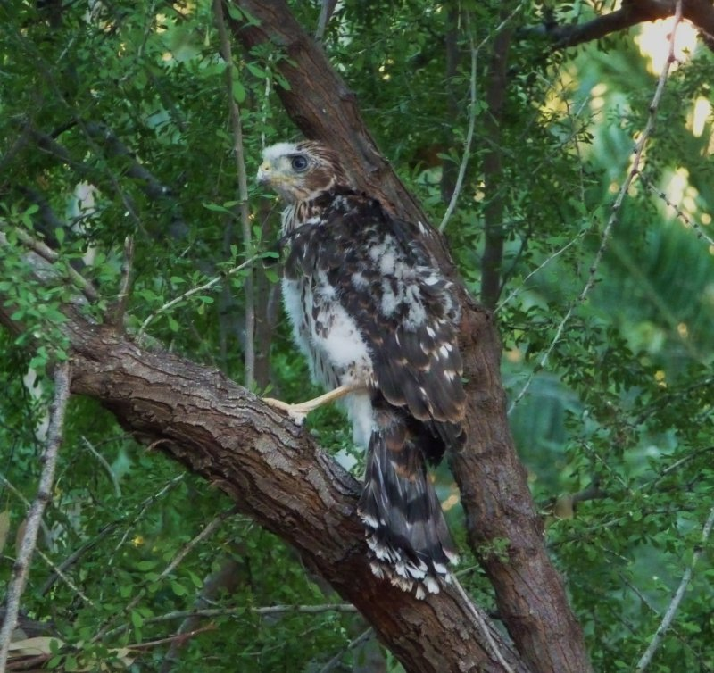 A very young Coopers Hawk