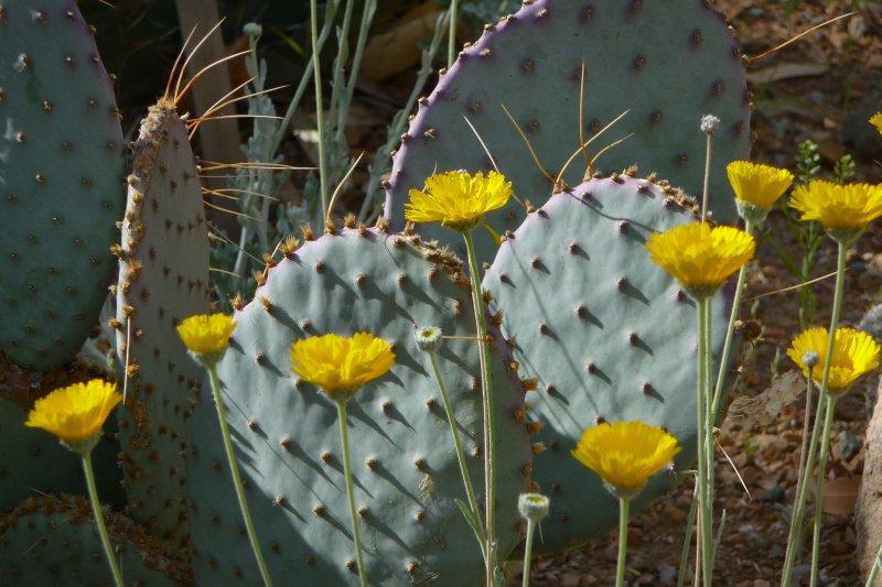 Desert Marigold and Santa Rita prickly pear