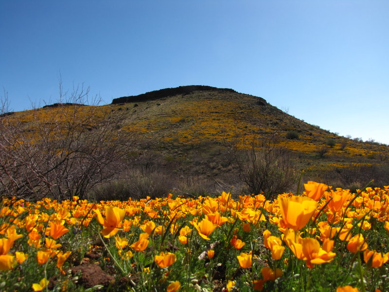Mexican Gold Poppies and Peridot Hill