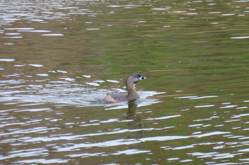 Grebe in Ayer Lake