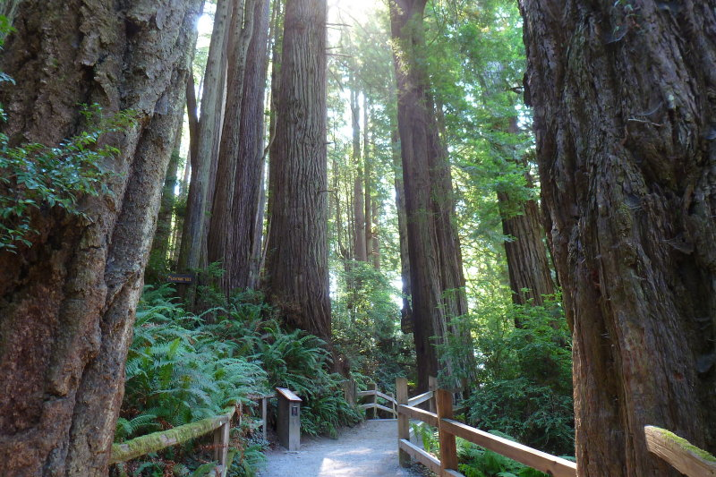 California Redwood forest at Trees of Mystery. Klamath, CA
