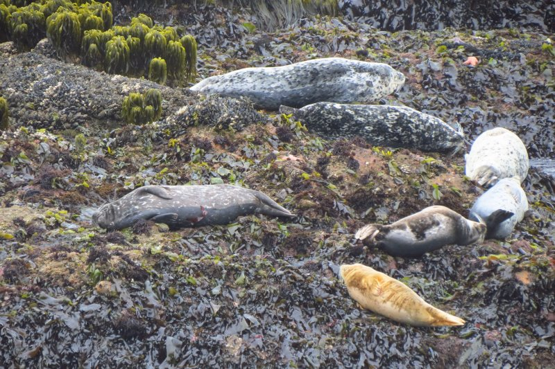 Seals near Pigeon Point Lighthouse. Trinidad, CA