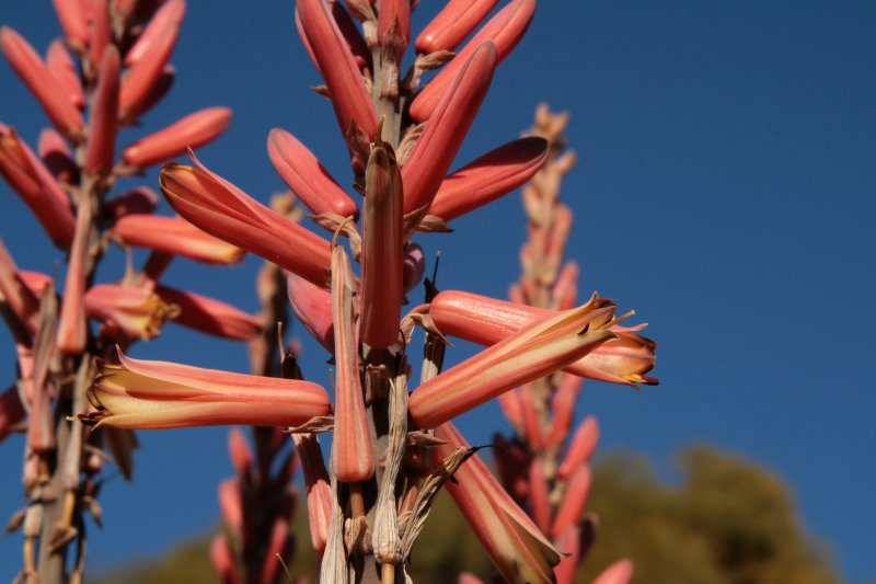Aloe littoralis