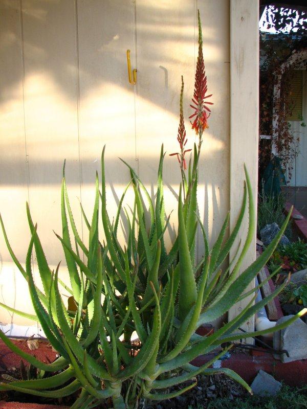 Aloe rivierei
