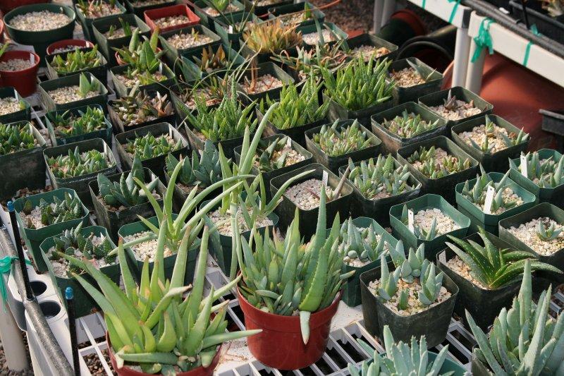 Aloe seedlings