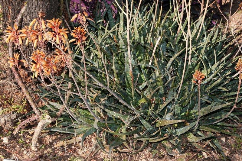 Aloe sinkatana x rauhii