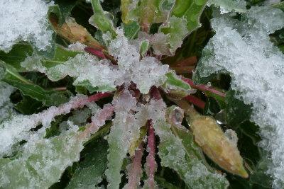 Snow on Oenothera caespitose - White Evening Primrose