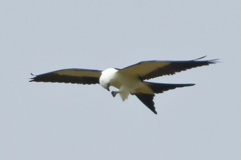 SWALLOW-TAILED KITE  --  EATING ON THE FLY