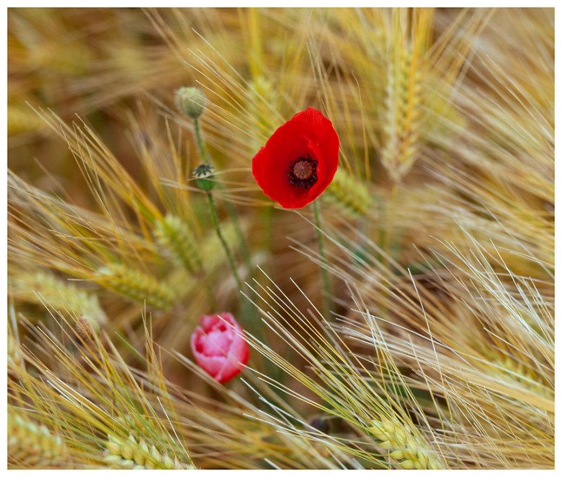 Poppies and Barley 1