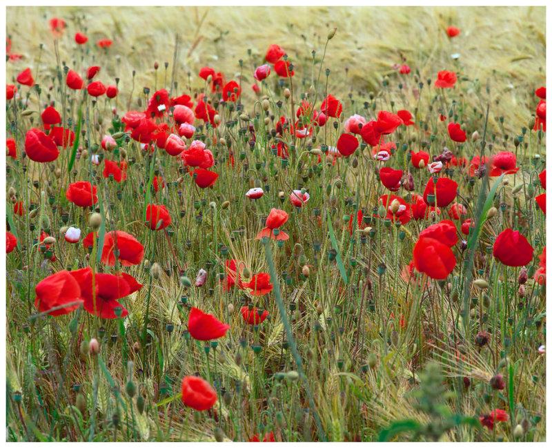 Poppies and Barley 2