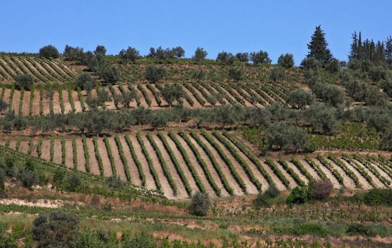vineyards around Zemeno