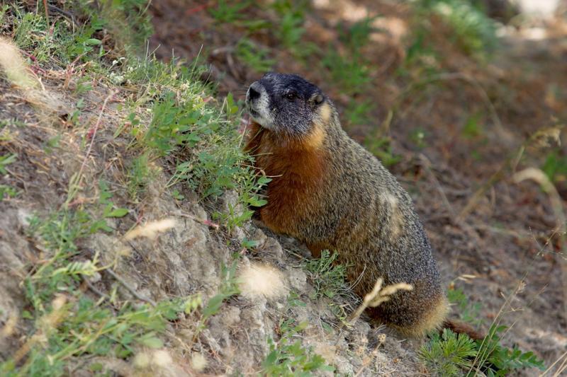 Yo Marmot