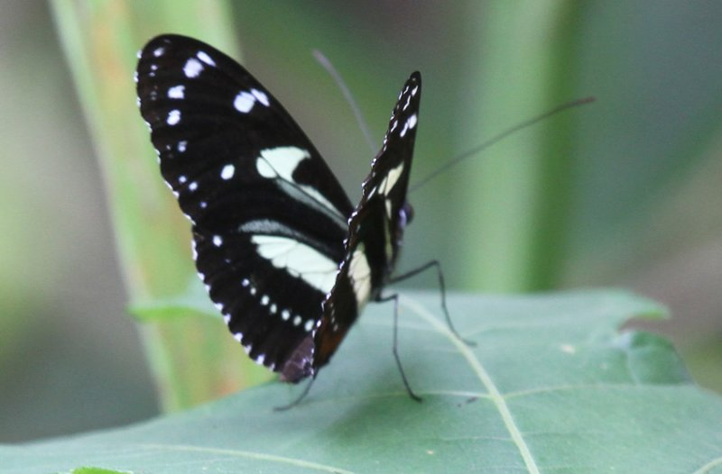 Butterfly Milpe