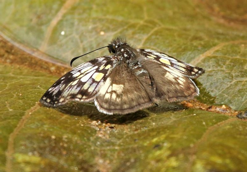 Butterfly Guaysimi