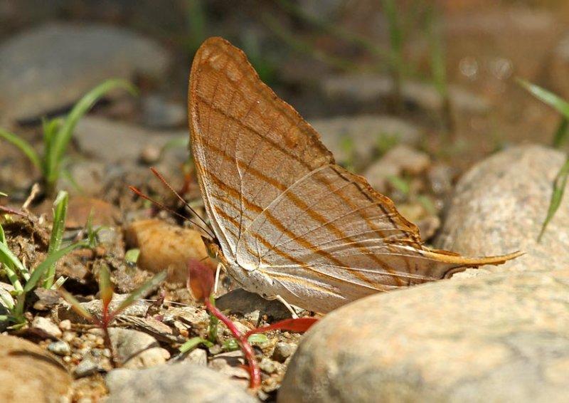 Marpesia sp.
