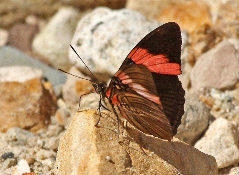 Adelpha lycorias lara
