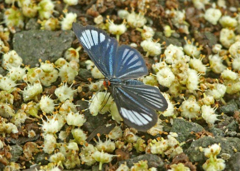 Butterfly Rio-Blanco