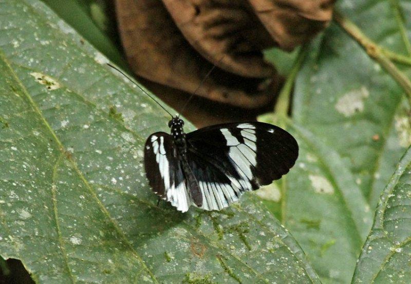 Butterfly-Silanche2.jpg