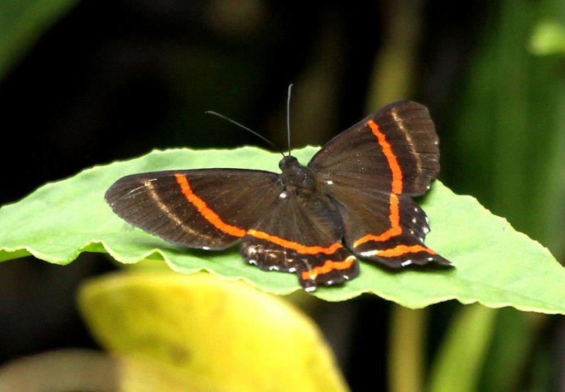 Ancyluris sp.